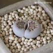 多肉植物 リトープス 菊章玉