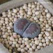 多肉植物 リトープス 紫李夫人