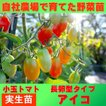 トマト 小玉 アイコ 9cmポット 実生苗