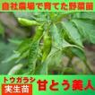 トウガラシ 甘とう美人 9cmポット 実生苗
