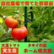 トマト 大玉 ホーム桃太郎 9cmポット 実生苗