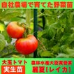 トマト 大玉 麗夏 9cmポット 実生苗