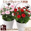 誕生日プレゼント 花 鉢植え ミニバ...