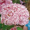 アメリカアジサイ「ピンクのアナベル」の苗