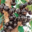 熱帯果樹 ジャボチカバの苗木(15cmポット植え)