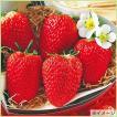 苺(イチゴ) 紅ほっぺの苗