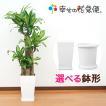 観葉植物 幸福の木 8号プラスチック鉢