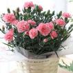 カーネーション 鉢植え 「ディアママピンク」 母の日 贈り物 記念日【送料無料】【お届けは5月1日〜5月11日となります。】