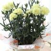 カーネーション 鉢植え 「レモンソフト」 母の日 贈り物 記念日【送料無料】【お届けは5月1日〜5月11日となります。】