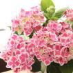 大輪のあじさい 「チボリ」 送料無料 母の日 贈り物 ギフト 紫陽花【お届けは5月1日〜5月11日となります。】