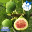 果物 果樹 ギフト イチジクの木 6号鉢選べる2種 1鉢 6号 鉢植え 白イチジク ホワイトスキア 一番大きな実が出来る バローネ