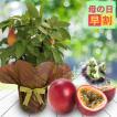 父の日 ギフト 果樹 鉢植え 果物 実付きパッションフルーツ トケイソウ鉢花 6号1鉢 父の日プレゼント