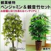 観葉植物 ベンジャミン&観音竹セット