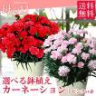 母の日 ギフト 2019 選べる鉢植え / カーネーション 鉢花 赤 ピンク