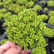 【当店農場生産】ゴールデンレモンタイム9センチポット苗 斑が綺麗で繁殖力旺盛なハーブ