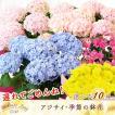 母の日 ギフトランキング プレゼント アジサイ  母の日ギフト2018 花 鉢花 フラワーギフト 贈り物  (2018年母の日)(代引不可)