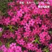 芝桜 スカーレットフレーム(9cmポット苗)花色:赤(濃いピンク)