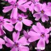芝桜 スブラータ(9cmポット苗)花色:ピンク