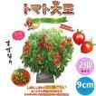 ミニトマト苗 トマト大王 野菜苗 自根苗 9cmポット 2個セット 送料無料 即出荷