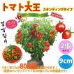 ミニトマト苗 トマト大王(スタンディングタイプ) 野菜苗 自根苗 9cmポット 2個セット 送料無料