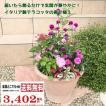 【送料無料】寄せ植え<br>イタリア製テラコッタに寄せ植えにしてお届け!