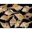 コアッキガイ 約4〜9cm/500g 貝 貝殻 シェル 巻貝 フォト 絵画 ハンドメイド 海 ブライダル ウェルカムボード