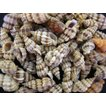 トクサバイ 約3〜4cm/100g 貝殻・貝・シェル