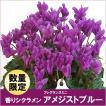 11月下旬よりお届け/香りシクラメン!フレグランスミニ/アメジストブルー・セレナーディアアロマブルー/5号鉢植え!
