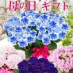 母の日プレゼント 選べる季節の鉢花C 吉本花城園 フラワーギフト2017