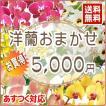 洋蘭おまかせ5,000円