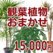 観葉植物おまかせ15000円