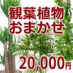 観葉植物おまかせ20000円