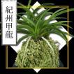 風蘭 富貴蘭 観葉植物 東洋欄 山野草 花 苗 鉢 父の日 母の日 敬老の日 贈答用 紀州甲龍
