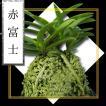 風蘭 富貴蘭 観葉植物 東洋欄 山野草 花 苗 鉢 父の日 母の日 敬老の日 贈答用 赤富士