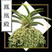 風蘭 富貴蘭 観葉植物 東洋欄 山野草 花 苗 鉢 父の日 母の日 敬老の日 贈答用 鳳凰殿