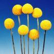 種 花たね クラスペディア 1袋(50mg) / 花種 花の種 ...