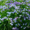 種 花たね ネメシア ブルー 1袋(50mg) / 花種 花の種...