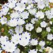 種 花たね ネモフィラ マクラータ 1袋(500mg) / 花種...