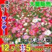 種 花たね 大量たね コスモス畑 1袋(100g)