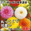 花たね 花たね ダリア ポンポン咲混合 1袋(30粒)