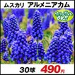 秋植え球根 ムスカリ アルメニアカム 30球 / 花の球根 きゅうこん グレープヒヤシンス グランドカバー 国華園
