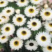 花たね 切花向き ヘリプトラム ホワイト 1袋(40粒)