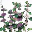 花たね 切花向き ダン菊 1袋(20粒)