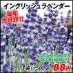 花たね 種 イングリッシュラベンダー 1袋(150mg) / タ...