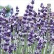 種 花たね イングリッシュラベンダー 1袋(150mg)