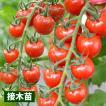接木野菜苗 ミニトマト 接木F1CFプチぷよ 2株 / ト...