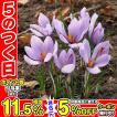 夏植え球根 サフラン 10球 / 花の球根 国華園
