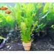 水草 アナカリス(オオカナダモ) ミニ素焼き鉢入り 3個 金魚藻 金魚やメダカ水槽に最適