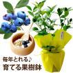 「初夏の果樹鉢植え」 送料無料 お中元 サマーギフト 誕生日プレゼント