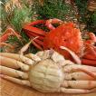 (石川県橋立産)茹で香箱蟹/せいこ:大サイズ×1匹